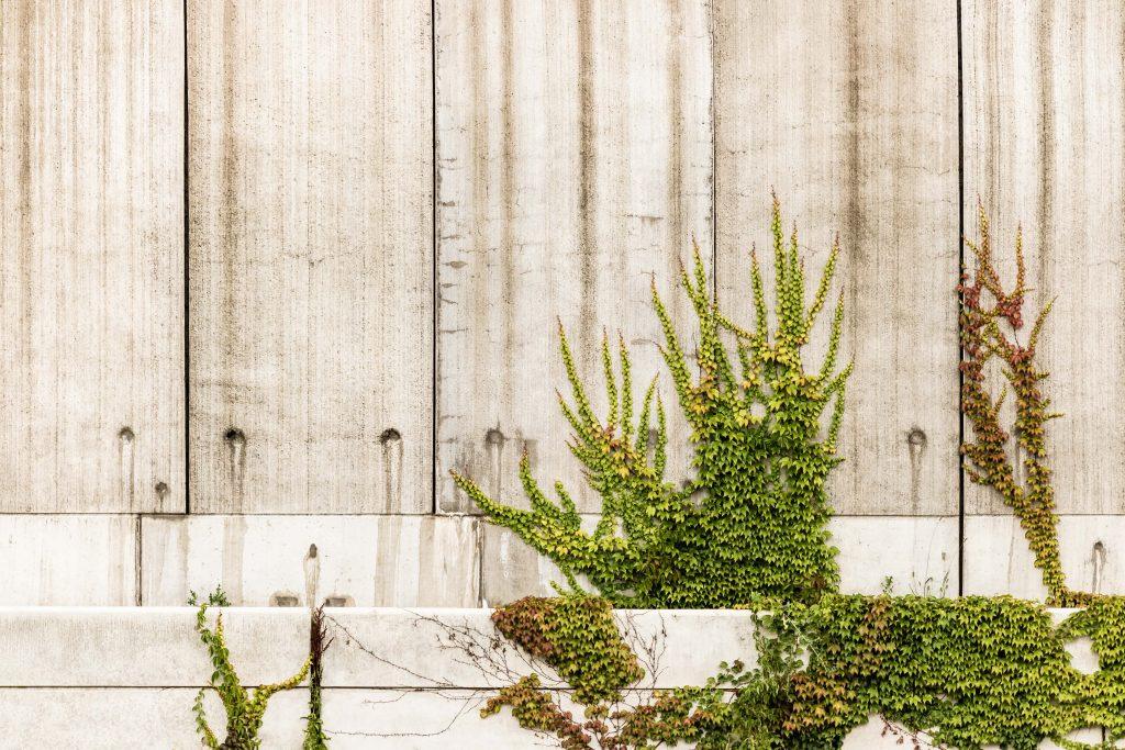Klimop is een goede plant voor in huis